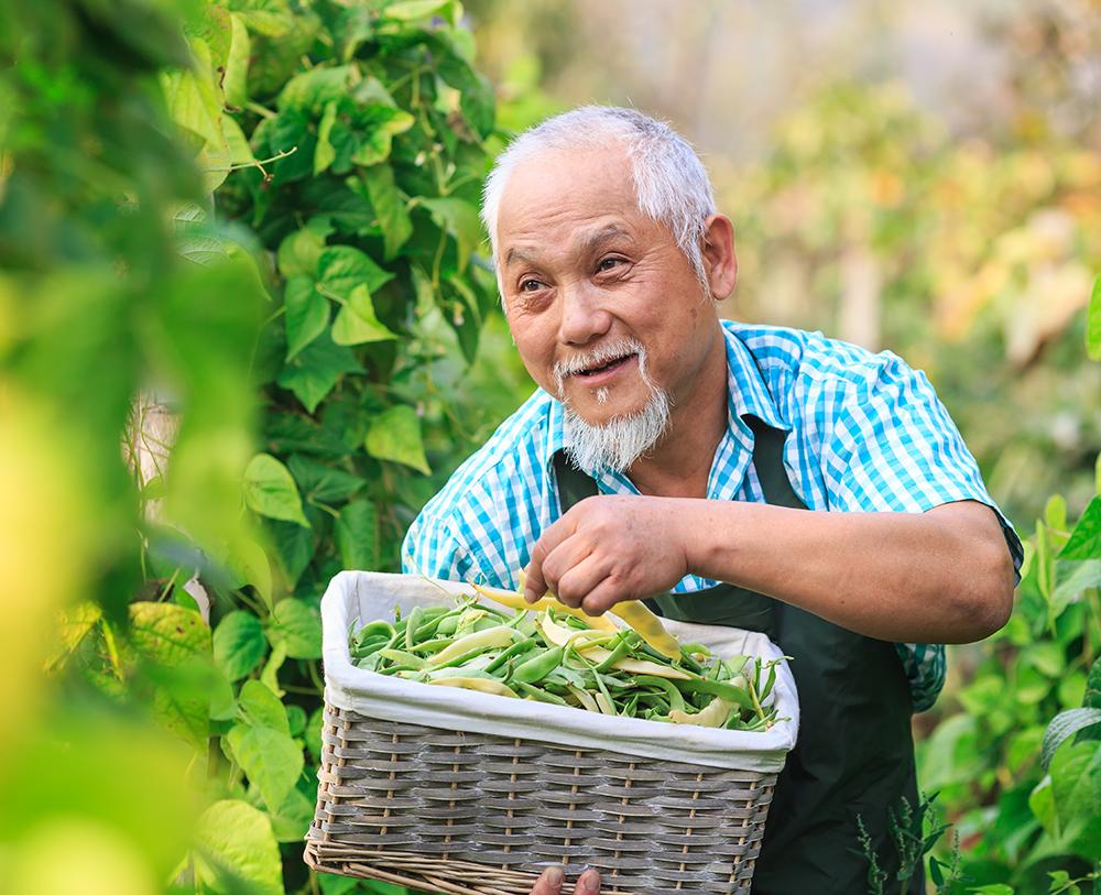 Older Asian man picking snow peas into a basket